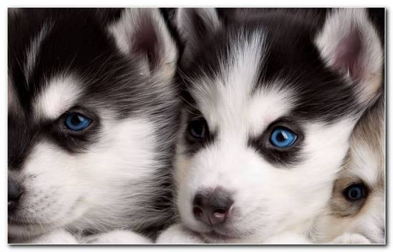 Image Sled Dog Snout Animal Cuteness Alaskan Malamute