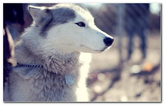 Image Sled Dog Tussilago Animal Sakhalin Husky Dog Breed