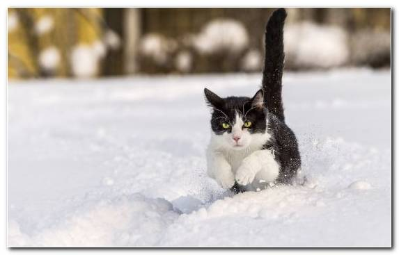 Image Small To Medium Sized Cats Cat Freezing Snow Aegean Cat