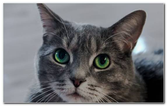 Image small to medium sized cats snout american wirehair odd eyed cat fauna
