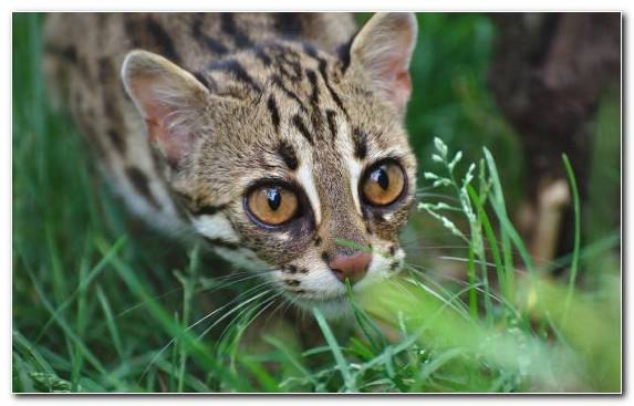 Image Small To Medium Sized Cats Wildlife Cat Ocelot Felidae