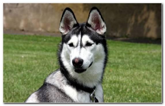 Image Snout Alaskan Malamute Husky Alaskan Husky Dog