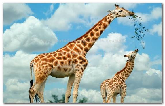 Image Snout Animal Infant Terrestrial Animal Giraffidae