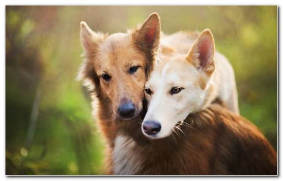 Image Snout Australian Cattle Dog Whiskers Puppy Canaan Dog