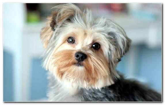 Image snout biewer terrier airedale terrier dog crossbreeds morkie