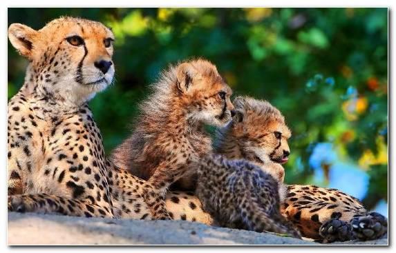 Image Snout Big Cat Cat Felidae Leopard