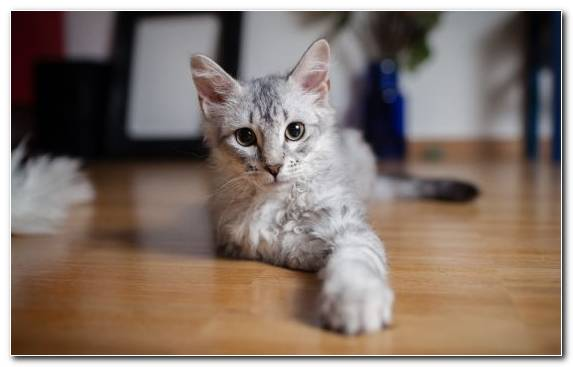 Image Snout Cat British Shorthair Maine Coon Selkirk Rex