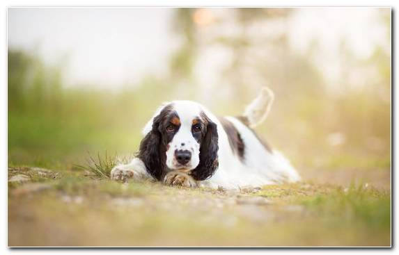 Image Snout Cocker Spaniel Dog Breed Group Welsh Springer Spaniel English Springer Spaniel