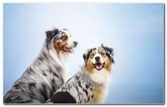 Image snout collie pet australian shepherd dog breed