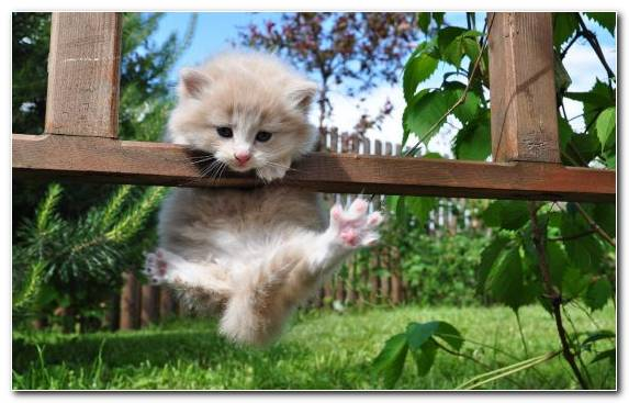 Image Snout Cuteness Norwegian Forest Cat Kitten Fence