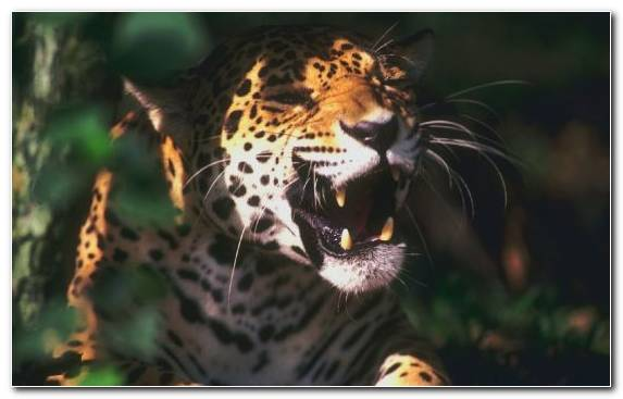 Image Snout Endangered Species Big Cat Wildlife Leopard