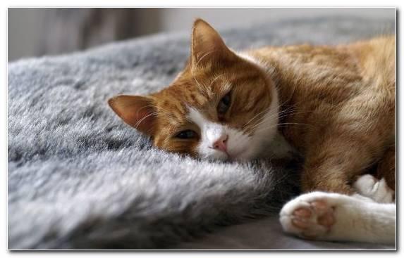 Image Snout European Shorthair Moustache Cat Tabby Cat