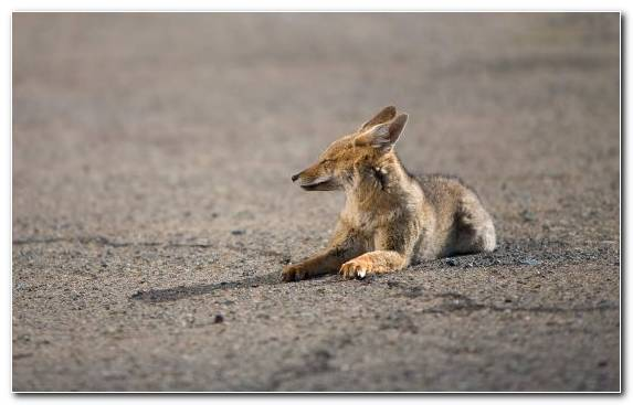 Image Snout Fauna Mammal Coyote Lying Down