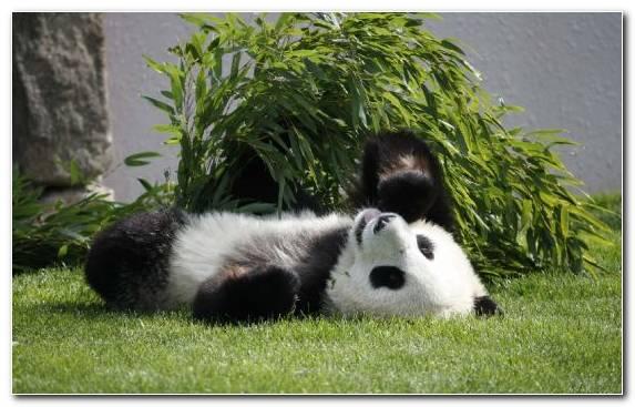 Image snout giant panda bear red panda terrestrial animal