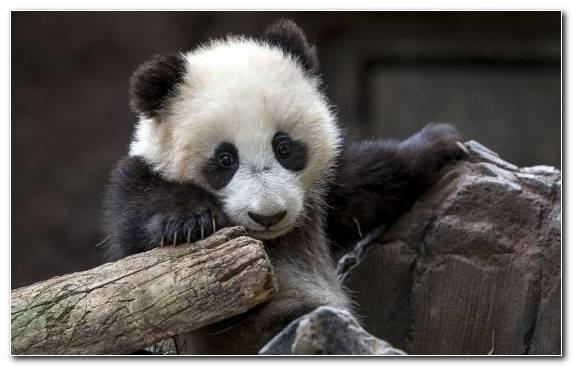 Image Snout Giant Panda Fur Cuteness Bai Yun