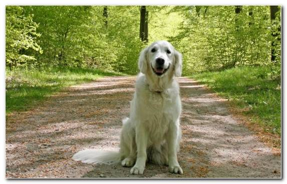 Image Snout Golden Retriever Canidae Sporting Group Dog Breed Group
