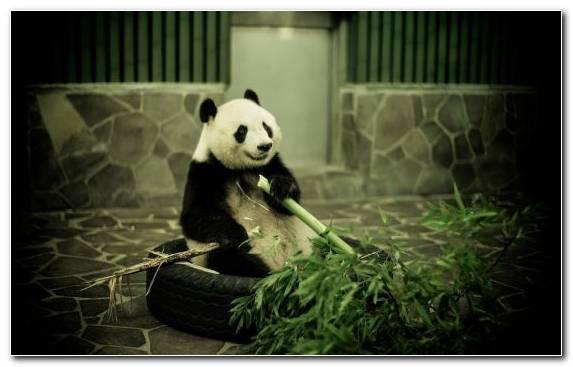 Image Snout Mammal Fauna Bear Giant Panda