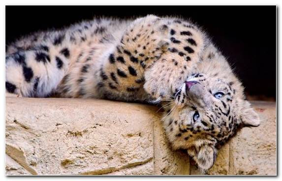 Image Snout Mammal Snow Leopard Leopard Terrestrial Animal