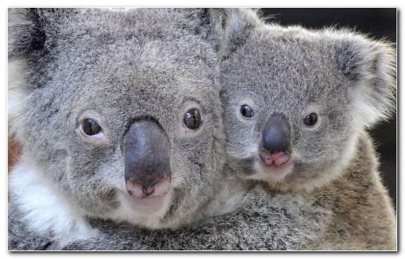 Image Snout Marsupial Fur Cuteness Terrestrial Animal