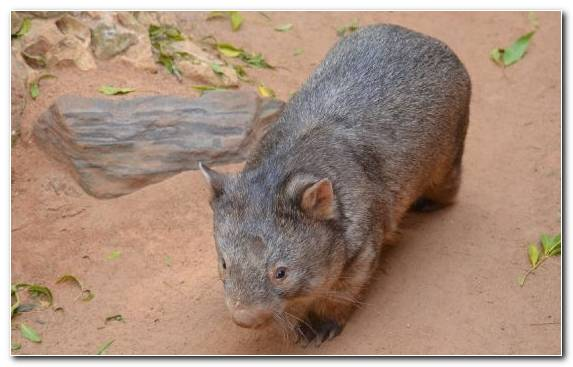 Image Snout Marsupial Rodent Terrestrial Animal Wombat