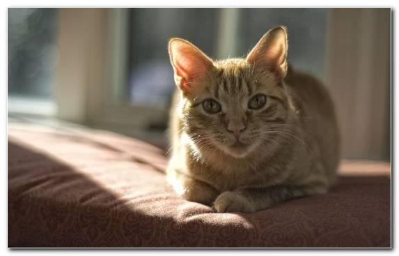 Image Snout Moustache Small To Medium Sized Cats Tabby Cat Dragon Li