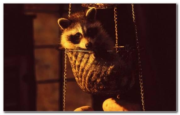 Image Snout Raccoon Fur Procyonidae