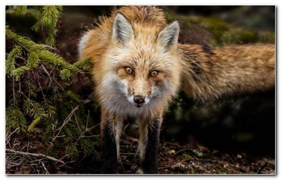 Image Snout Red Fox Terrestrial Animal Whiskers Moustache
