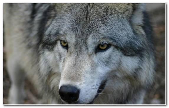 Image Snout Saarloos Wolfdog Mammal Dog Like Mammal Wildlife