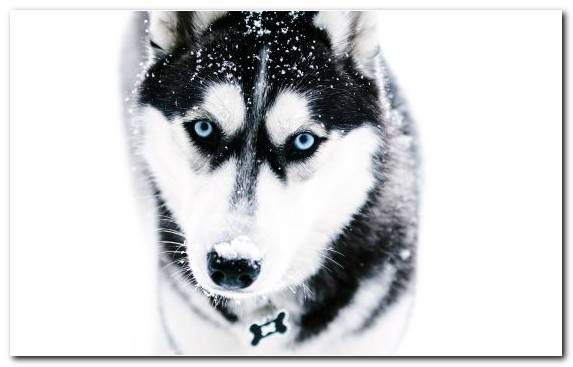 Image Snout Sakhalin Husky Black And White Pet Dog Breed