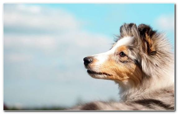 Image snout shetland sheepdog dog breed group scotch collie rough collie