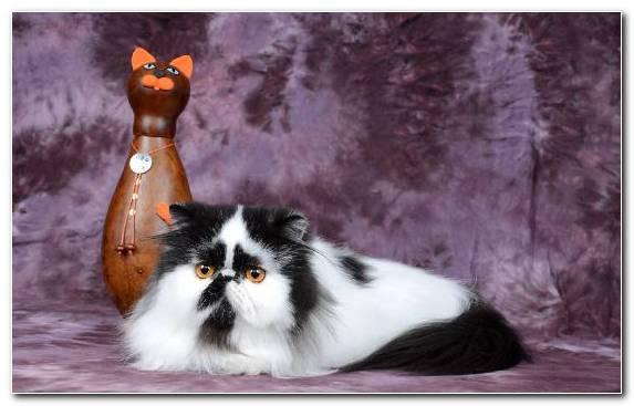Image snout siamese cat ragamuffin cat manx cat himalayan cat