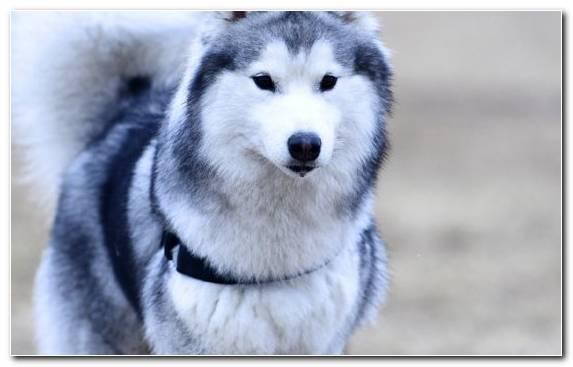 Image Snout Sled Dog Husky Dog Like Mammal Alaskan Malamute
