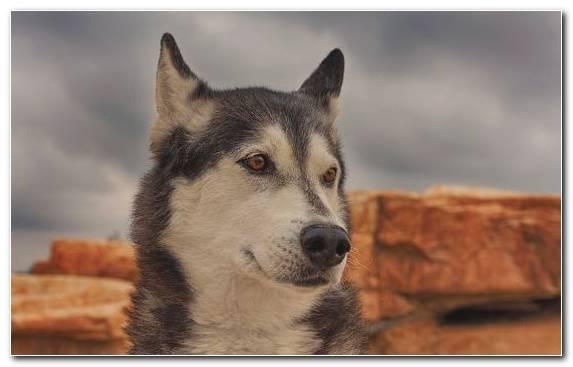 Image snout sled dog racing the siberian husky Siberian Husky seppala siberian sleddog