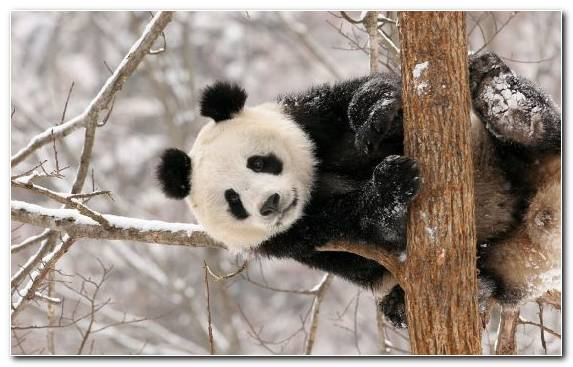 Image Snout Snow Red Panda Fauna Cuteness
