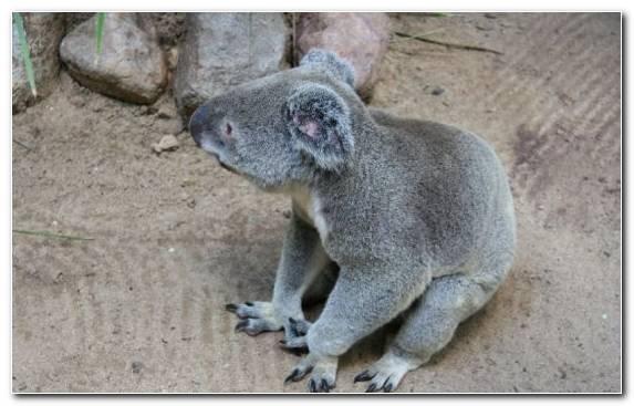Image Snout Terrestrial Animal Koala Marsupial