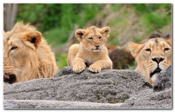 Image Snout Terrestrial Animal Lion Big Cat Family