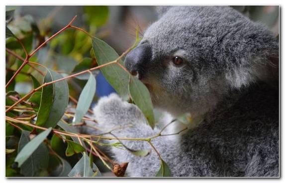 Image Snout Terrestrial Animal Marsupial Koala Wombat