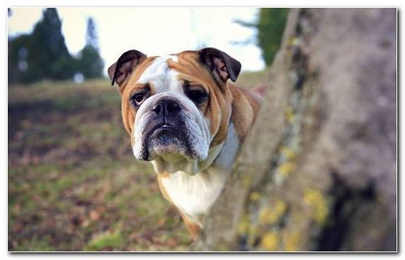 Image snout toy bulldog american bulldog dog breed group bulldog