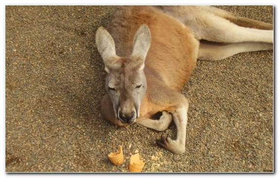 Image Snout Wallaby Wildlife Terrestrial Animal Roo