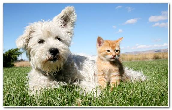 Image Snout West Highland White Terrier Cairn Terrier Dog Companion Dog