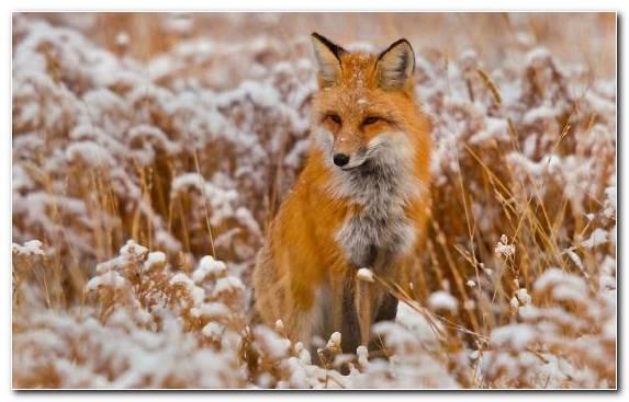 Image snout wildlife mammal red fox fur