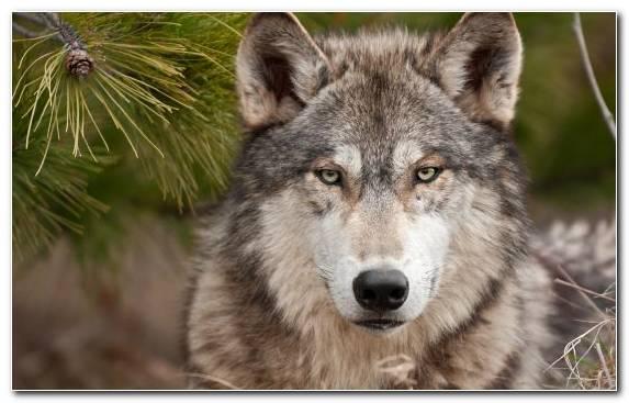 Image Snout Wildlife Saarloos Wolfdog Czechoslovakian Wolfdog