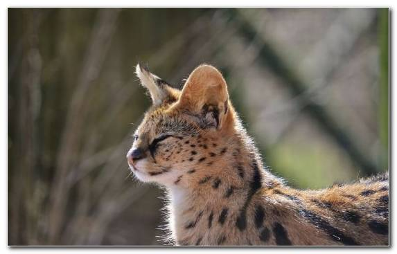 Image Snout Wildlife Terrestrial Animal Serval Cheetah