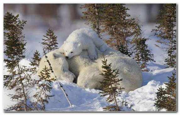 Image Snow Brown Bear Freezing Wildlife Bear