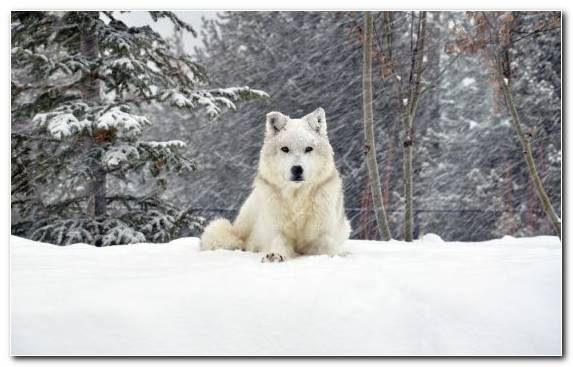 Image Snow Dog Like Mammal Forest Canis Lupus Tundrarum Wildlife