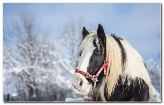 Image Snow Horse Tack Icelandic Horse Rein Bridle