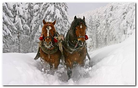 Image snow mane pack animal horse tack snowmobile