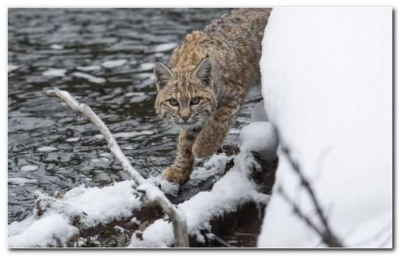 Image Snow Predation Wildlife Canada Lynx Mammal