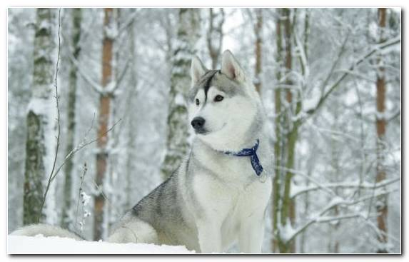 Image Snow Puppy Husky Dog The Siberian Husky