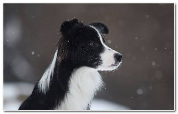 Image Snow Snout Dog Breed Companion Dog Border Collie